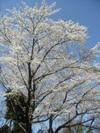 Sakura200804011
